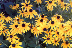 Black-eyed Susans 2016